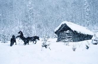 Tre dølahester leker i snøen hos Vera Gjersøe