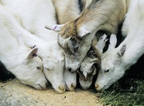 Alle dyr liker kraftfor. Geitekillinger intet unntak