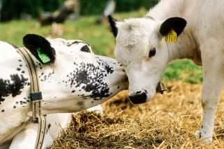 Sidet trønder-og nordlandsfekua prater med kalven sin