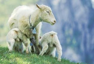 Spelsau gir lammene sine melk