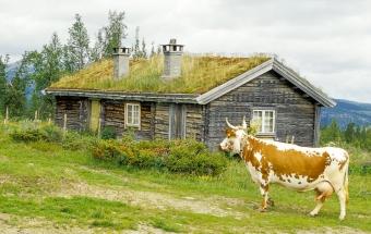 Telemarksku på Gålaseteren i Østerdalen