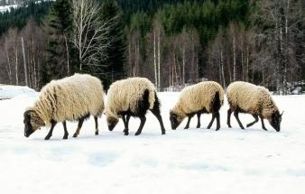 Villsau på vinterbeite