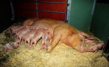 Alle grisungene har hver sin faste spene