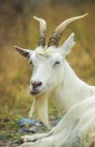 Horn er geitas stolthet