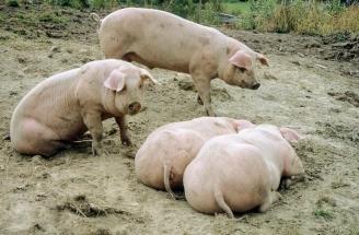 Det er godt å være uteganger-gris