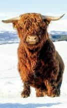 En mektig skotsk høylandsfeokse