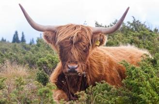 Skotsk høylandsfe. Hunndyr har også svære horn.