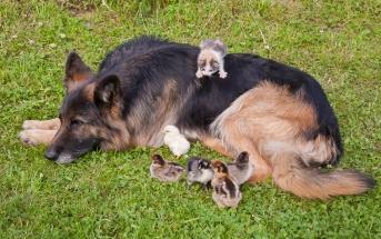 Tolmodig som klatrestativ for både kyllinger og lillepus