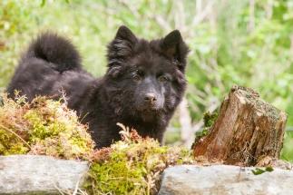 Lapphundvalpen Embla graver ned maten sin
