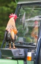 Stolt orange italiensk hane ser en flott hane i traktorvinduet