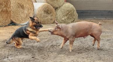 En må være to til tango - schaefer og gris.