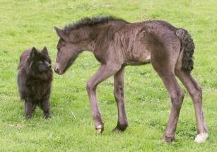 Lapphunden Embla snuser på dølaføllet